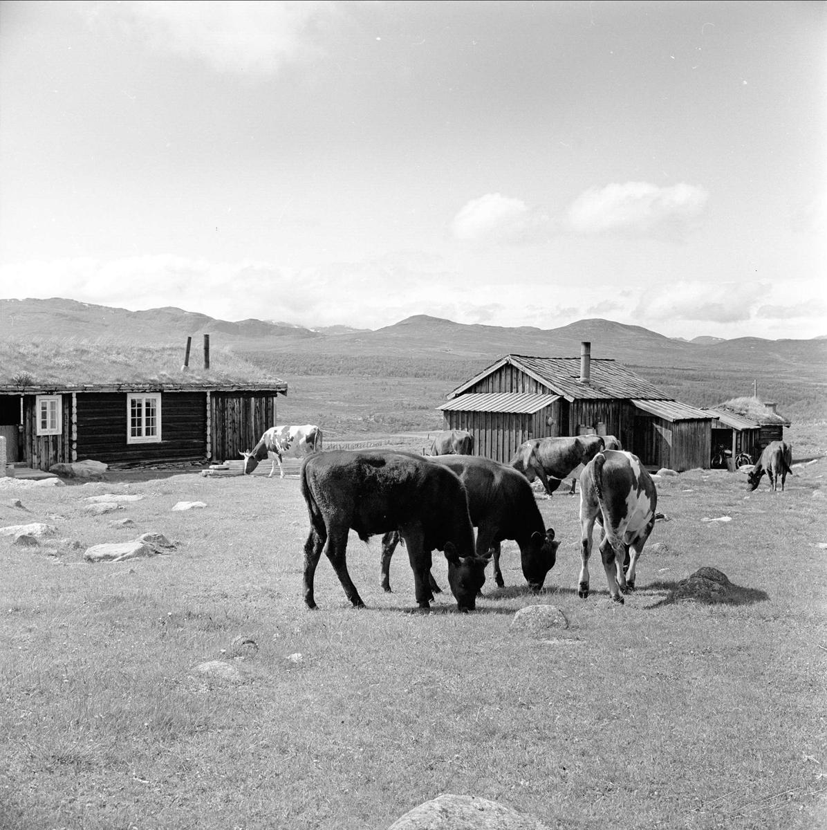 Storhølisætra, Skåbu, Nord-Fron, Oppland, juli 1964. Setertun med kuer.