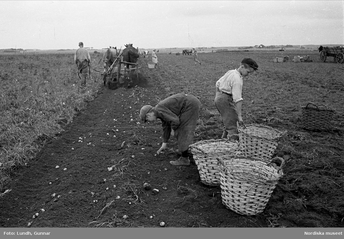 Jordbruk, Statarpojkar skördar potatis. Halmstad, Halland.