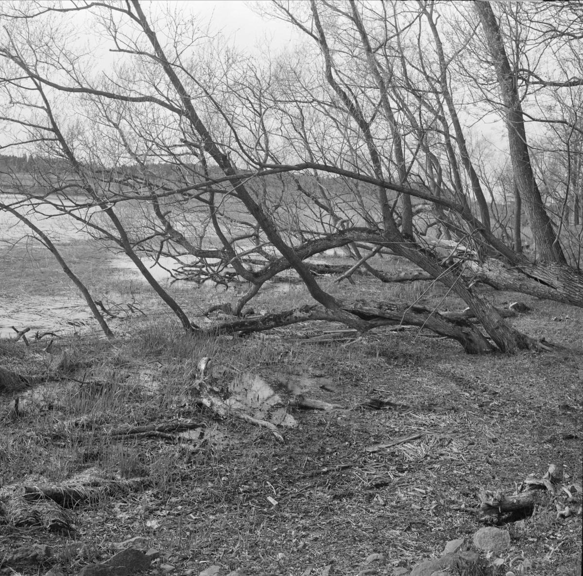 Lårstavikens strand vid Wiks slott, Balingsta socken, Uppland 1965