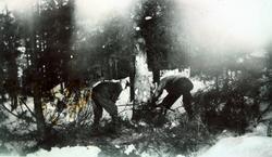 """Felling av tømmer med """"tigersvans""""."""