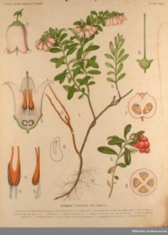 """""""Lingon"""". J. Erikssons Botaniska väggtavlor, 2:a upplagan. Tidigare placering på gamla Liveredsskolan i Kållered. Bläckskada."""