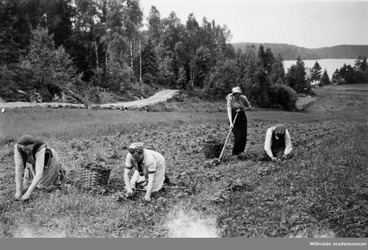 Sonja Svensson, Albert Persson, Ella Persson och Augusta Persson rensar ogräs i potatislandet på Långön, 1950.