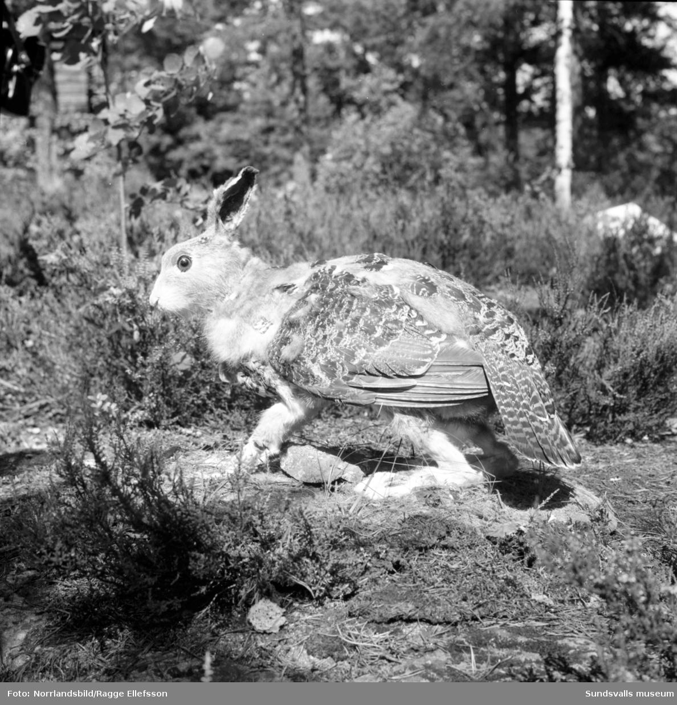 Skvadern på Norra berget. Fantasidjuret som blivit något av en symbol för Medelpad finns i uppstoppad version på Hantverks- och Sjöfartsmuseet på Norra berget.