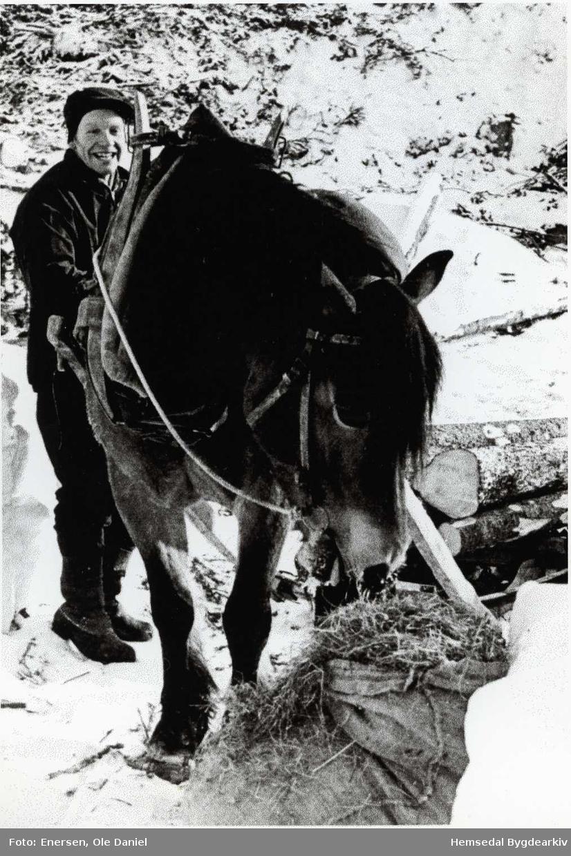 """Ola K. Thorset og """"Bruna"""" på tømmerkøyring (timrekøyring, dialekt) i gardsskogen i Hemsedal."""