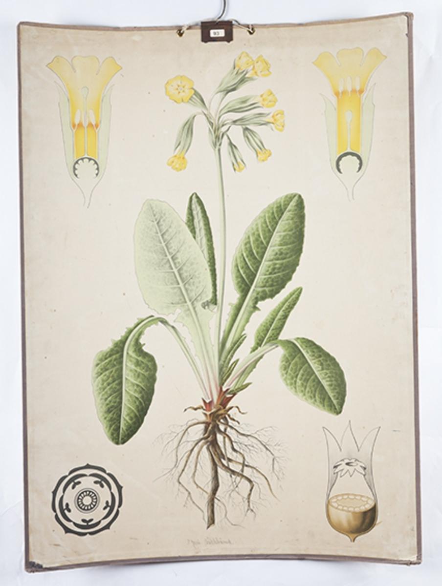 Botanikkplansjer. Fargetrykk med opphengskrok. a. Maria nøklebånd b. Guldåe