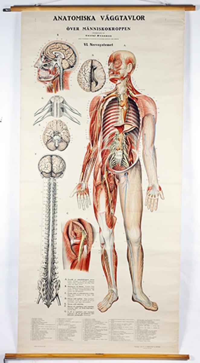 Anatomisk plansje; nervesystemet. Rullestokk på over- og underside. Fargetrykk. Opplysningstekst under illustrasjonen.
