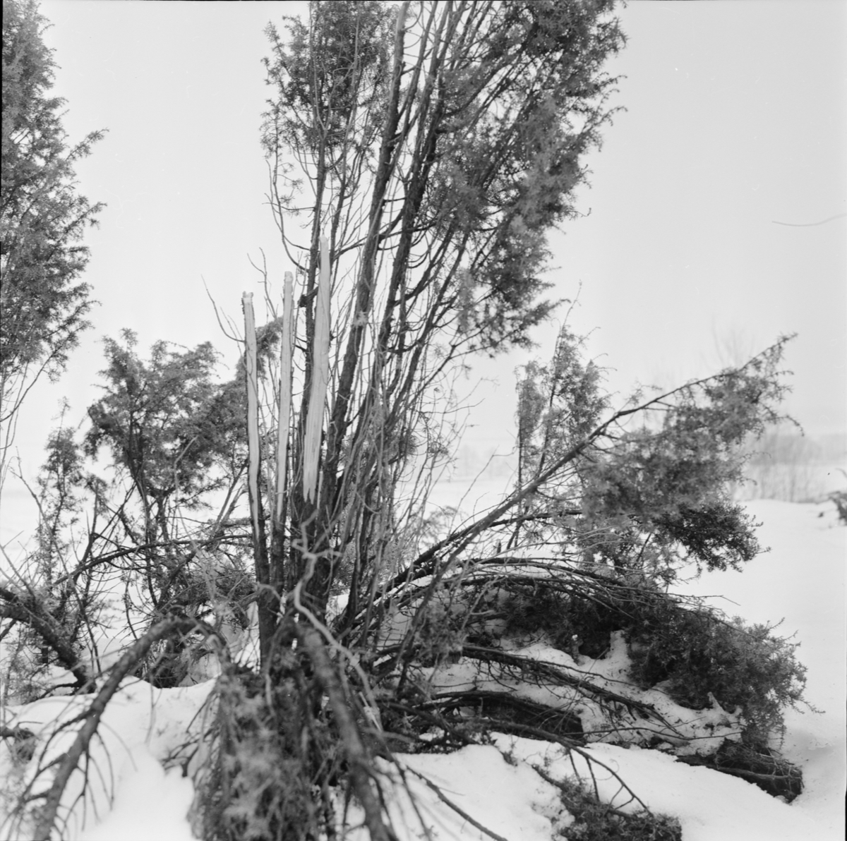 Riskojor, Uppland mars 1963