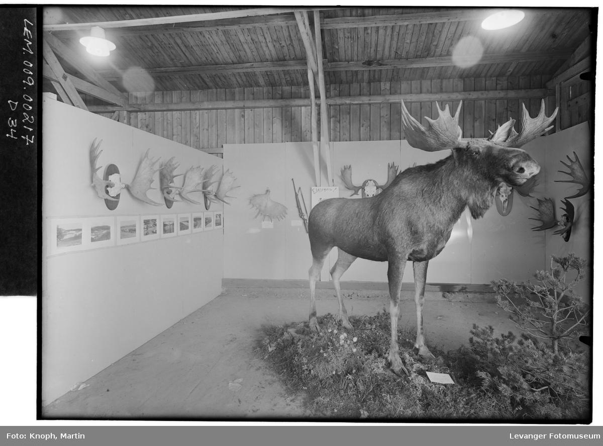 Fra fylkesutstillinga på Steinkjer, 1950. Preparant Granhus.  II