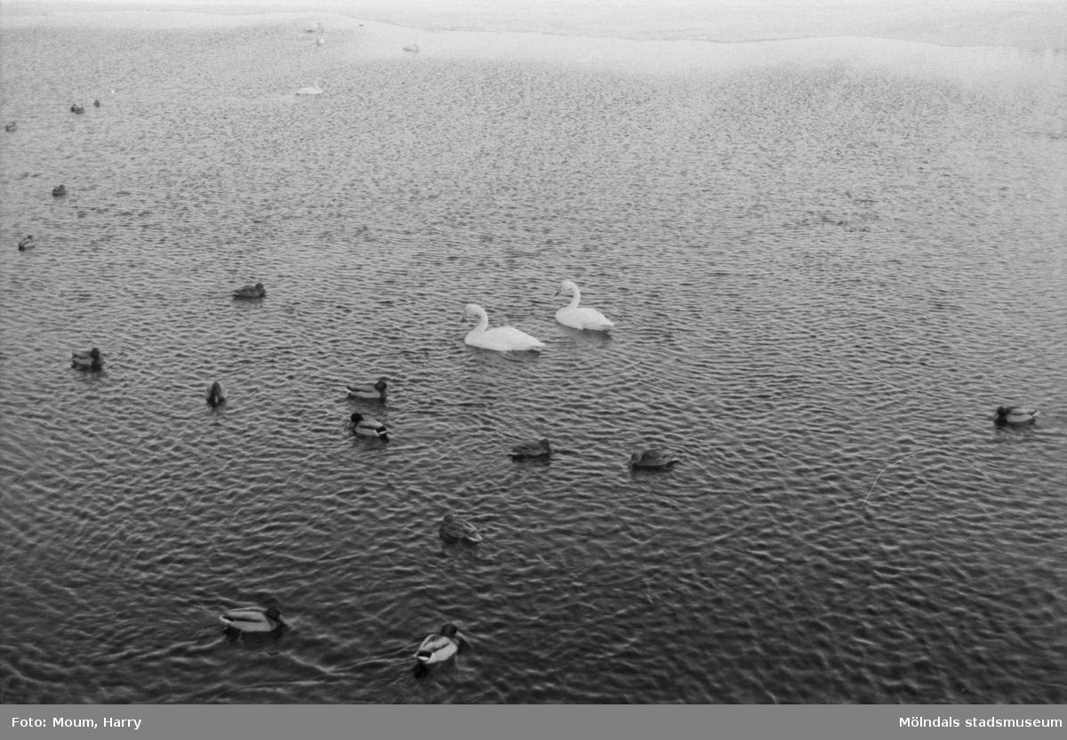 """""""Slutligen tog vi vägen om Västra Ingsjön för att titta på isfiskare och skridskoåkare. Men folk i trakten hade tydligen bättre vett än denna tidnings reporter. Inga människor syntes till. Isarna är inte säkra ännu, så vi passar på att uppmana till försiktighet. Fågellivet i sjön är emellertid stort så tiden fördrevs med att småprata med de vackra fåglarna som simmade omkring vid utloppets öppna vatten."""" År 1985.  För mer information om bilden se under tilläggsinformation."""