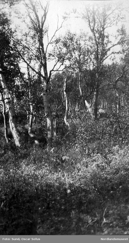 Turtenhagen ved Sokum, 8,juli 1926. Dette var året før Oscar Sunds hytte ble bygget her. Bjerkeskog og frodig vegetasjon