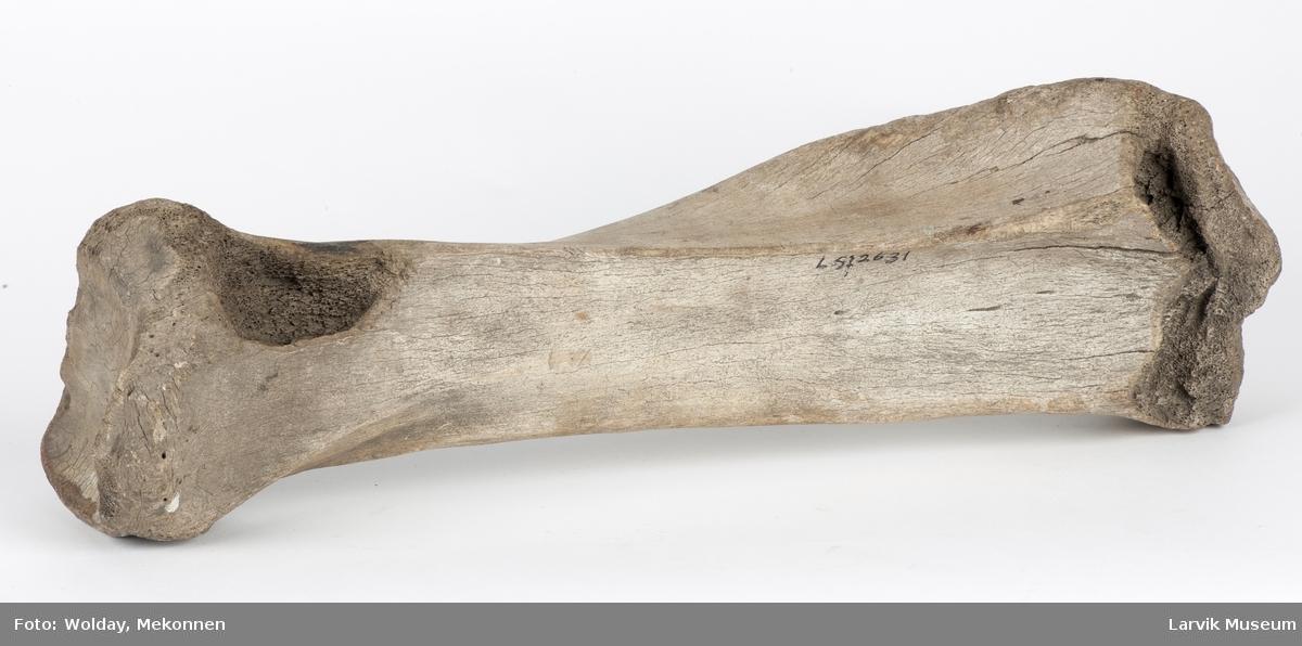Lårben fra urokse, angivelig funnet på Maud-ferden