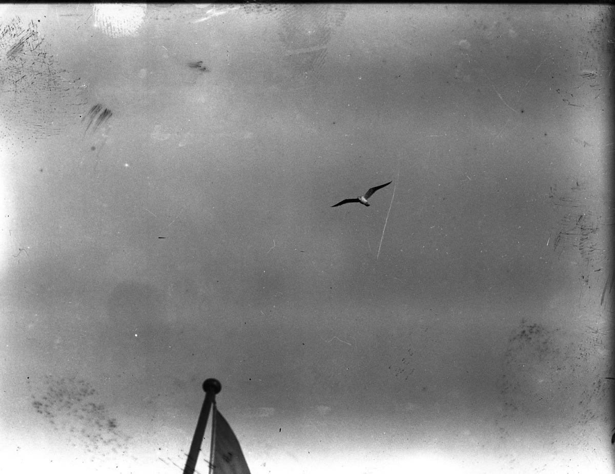Fiskmås, flygbild från Köpenhamnsbåt