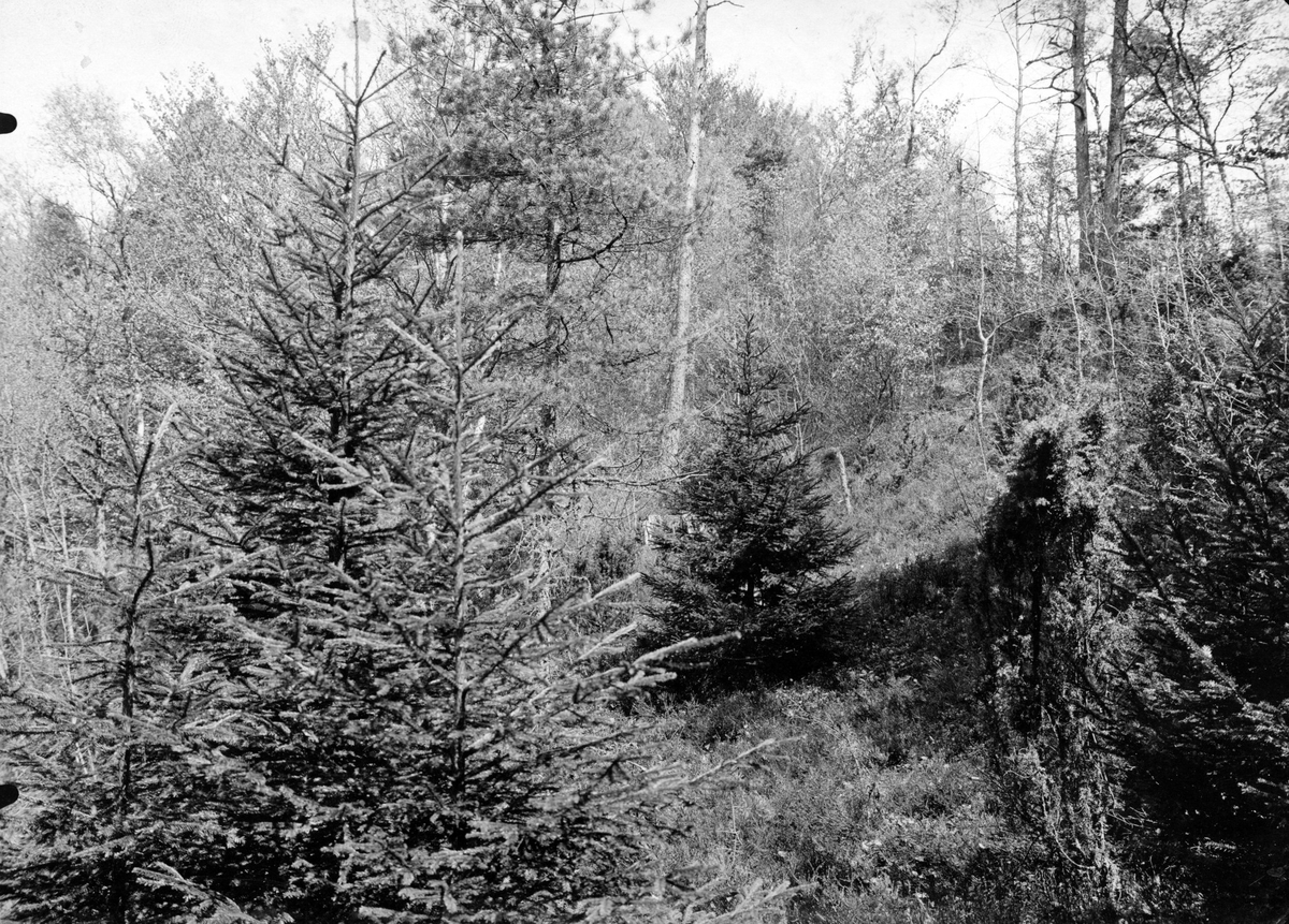 Biotop för sångtrast, turdus musicus, 28/5 1909