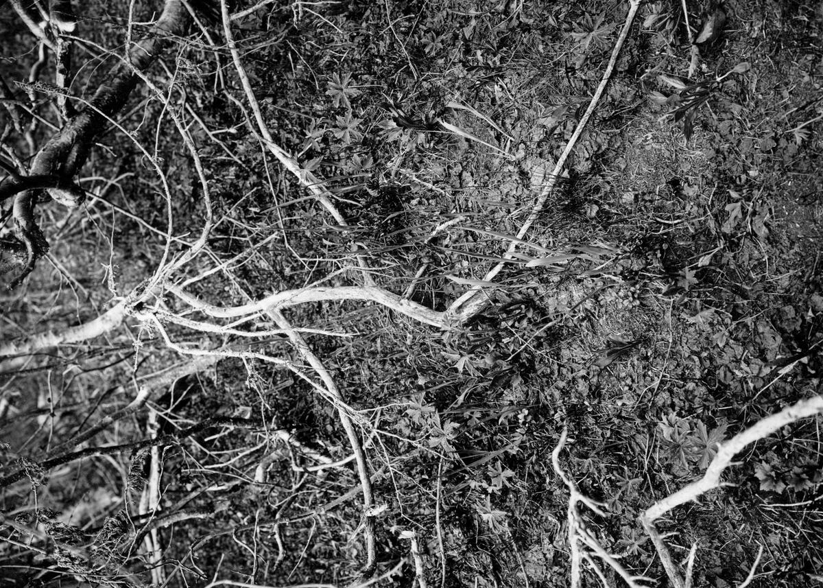 Blåhake bo , Luscinia svecia, antagligen mitt i bilden under grenkröken.