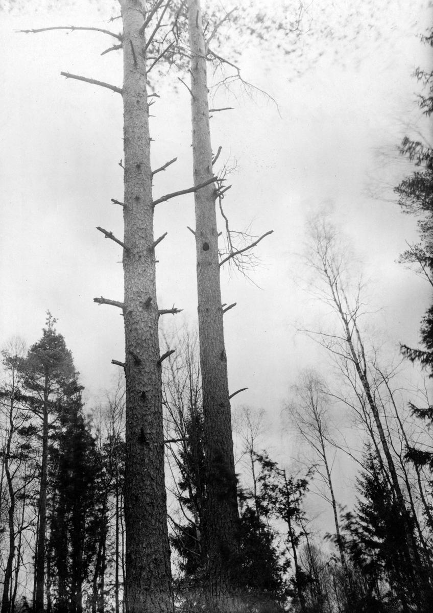 Boplats för spillkråka, Pieus martius, 19/3 1918