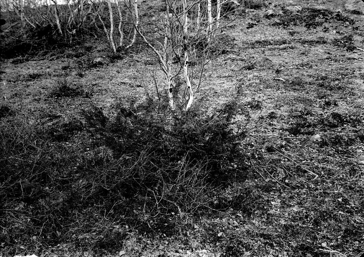 Boplats för anas acuta (stjärtand) 17/6-1916 (Boet under enebusken)