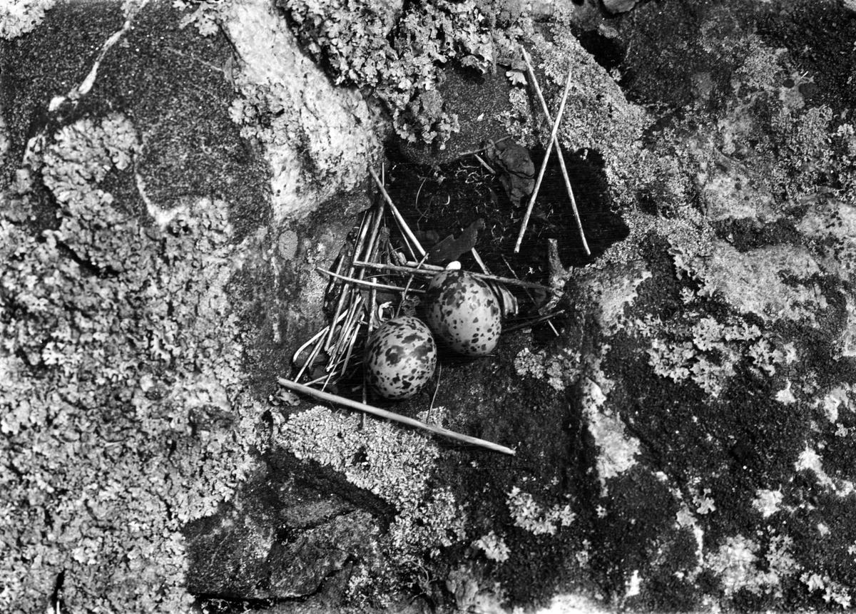 Bo av Silvertärna (Sterna arctica) 3/6-1937.