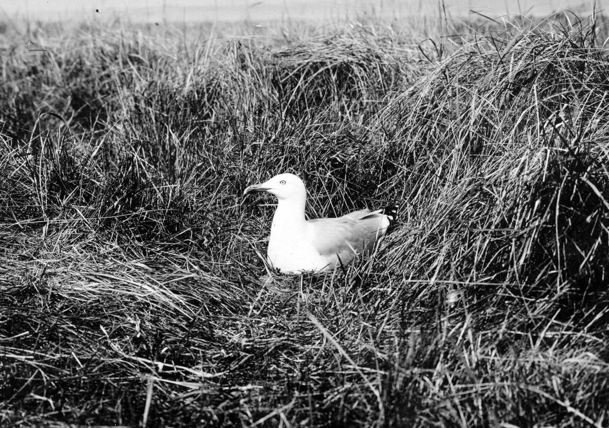 Gråtrut, Larus Argentatus på boet, 30 maj 1909