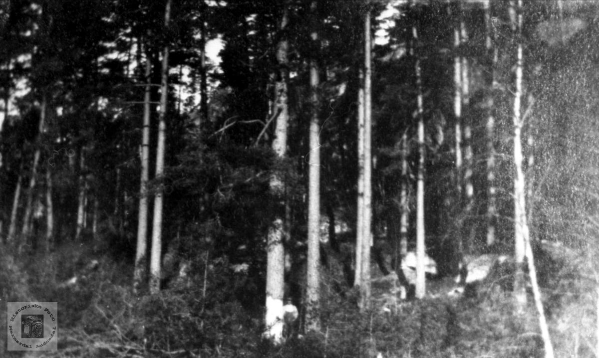Tømmerskog på Surteland