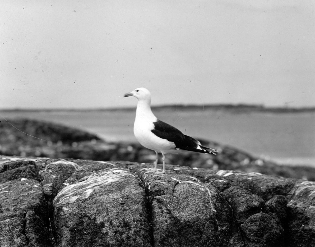 Havstrut, Larus Marinus, 31 maj 1930