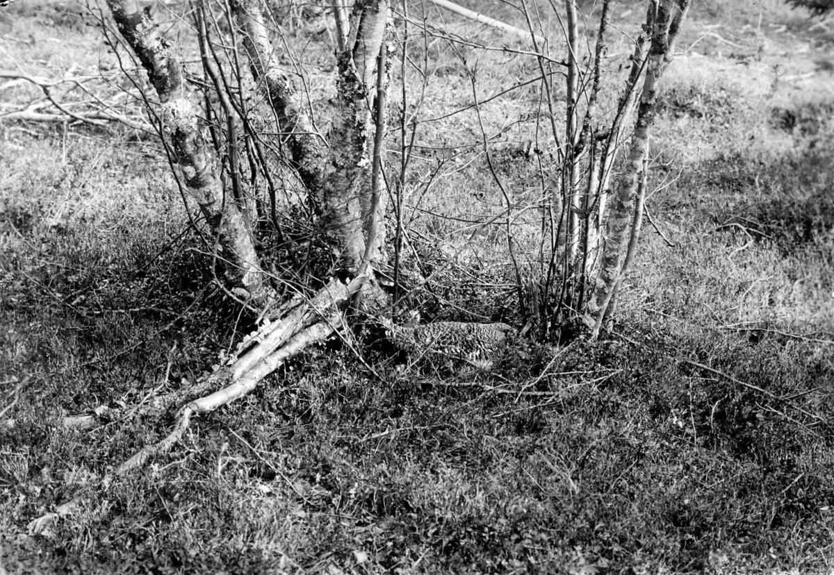 Ruvande tjäderhöna (Tetrao u. urogallus)