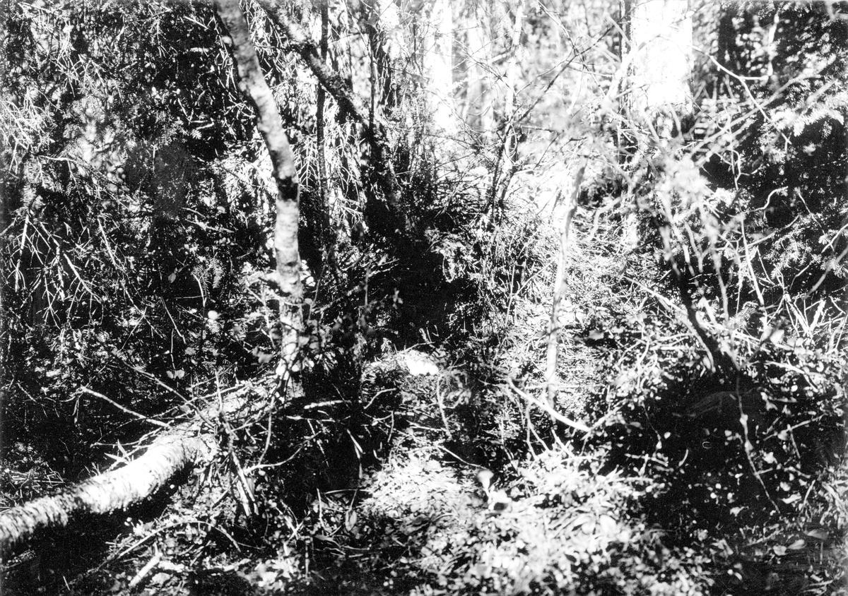 Bo av Järpe (Tetras bonasia) 30 Maj 1932.