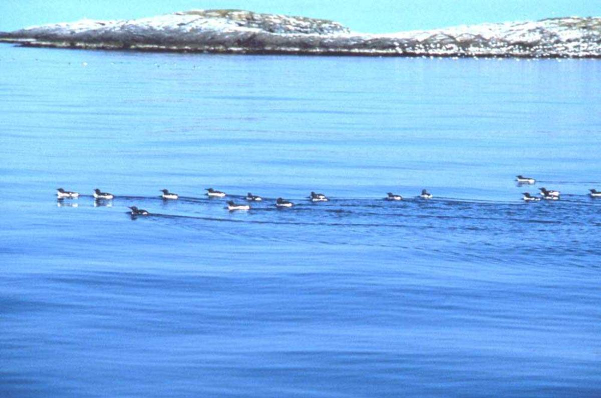 Landskap. En flokk Lomvier forstyrres i deres søk etter mat.