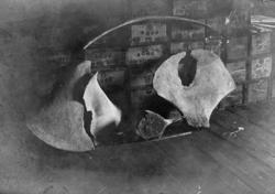 Skelett av knölval funnen 1902