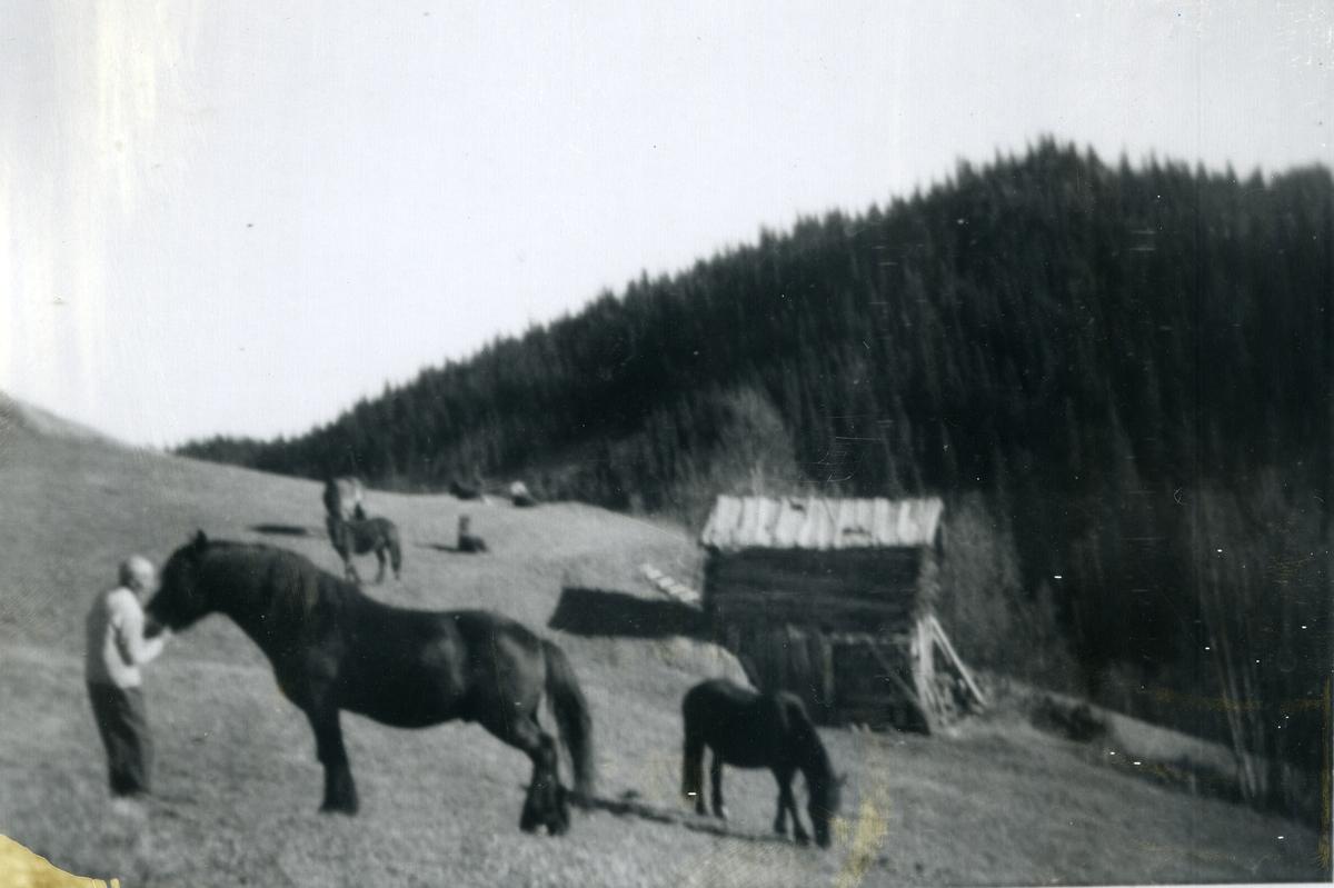 Eldre kar med mange hester på et stort jorde. Tømret forløe til høyre i bildet.