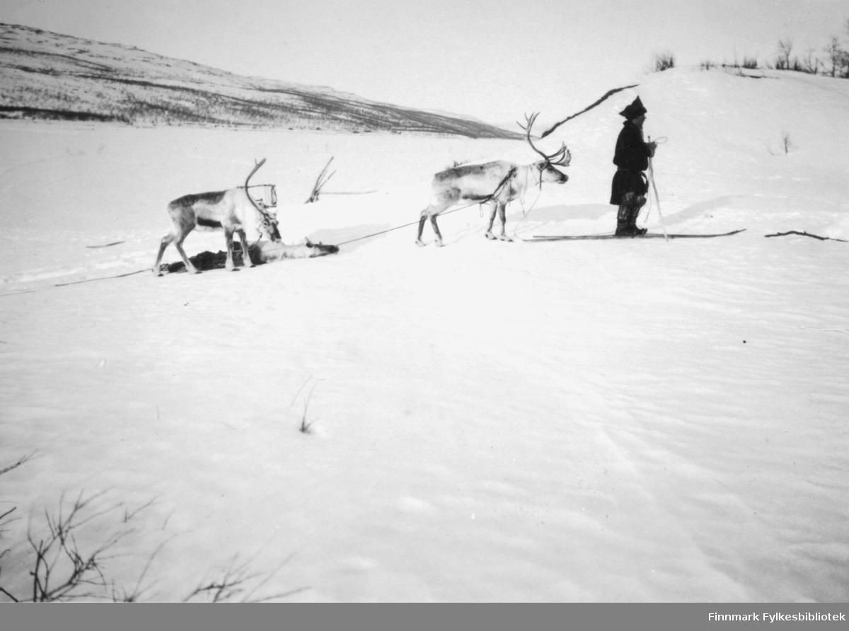 Fotografi av en same med to reinsdyr. Bildet er tatt i Tana og viser en ulvedrept rein som blir slept med i tau av en annen rein. Bildet er trolig tatt i april 1929.