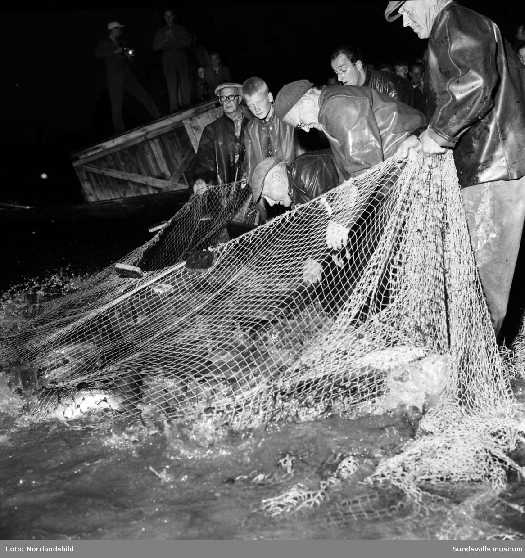 Rekordfiske i Bergeforsen. Notdragning.
