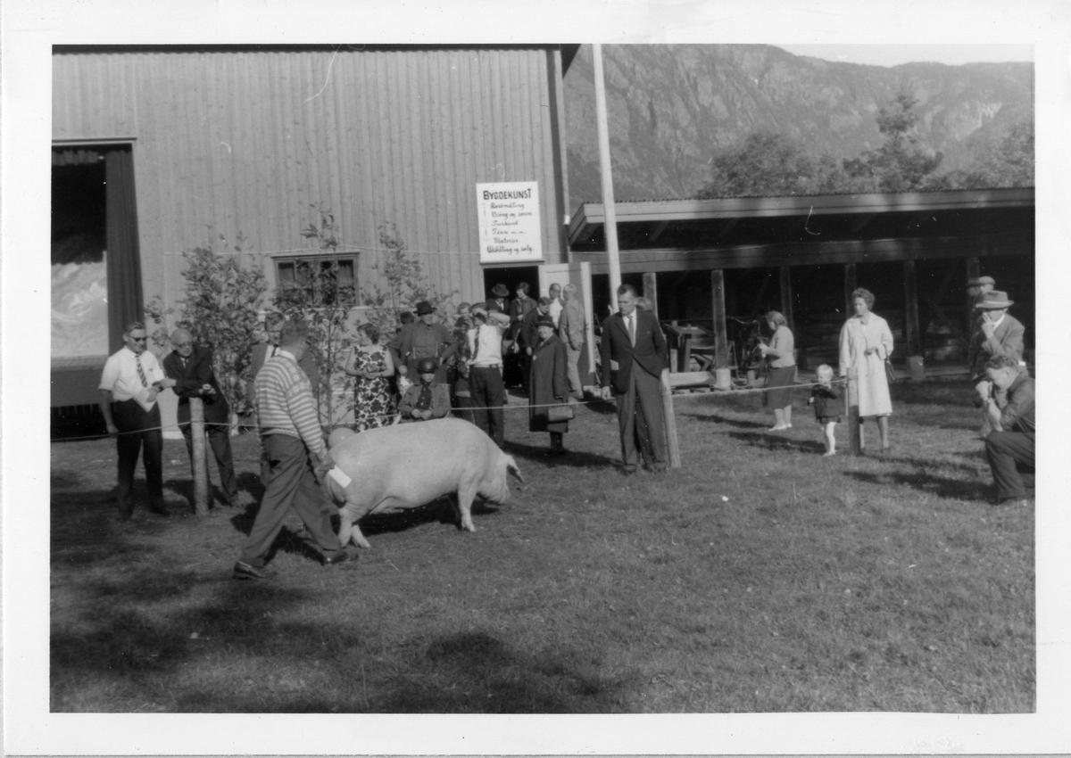 Dømming av gris.