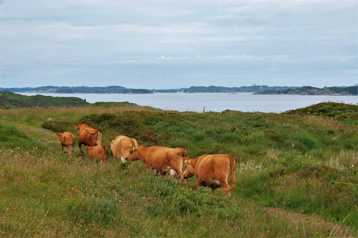 Raudkoller i grønt kystlandskap (Foto/Photo)