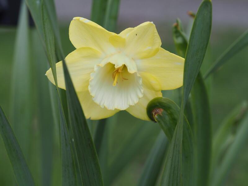 GH 2012 01 Narcissus 'Binkie' (Foto/Photo)