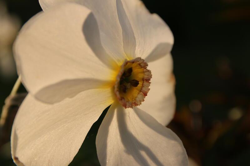 GH 2015 06 Narcissus 'Actaea' (Foto/Photo)