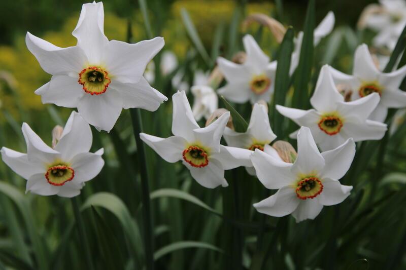 Narcissus GH 2011 07 Narcissus poeticus var. recurvus (Foto/Photo)