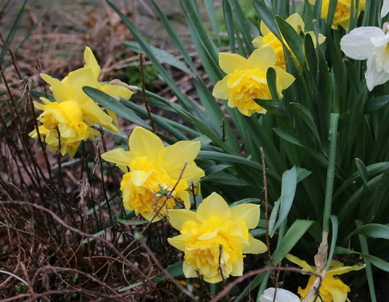 GH 2006 06 Narcissus 'Dick Wilden' (Foto/Photo)