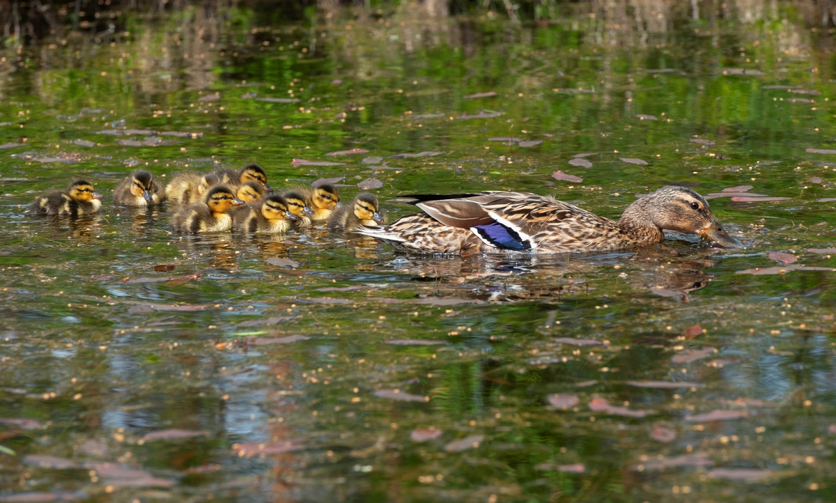 Stokkender i en dam på Glomdalsmuseet, Elverum, Innlandet. Mor med unger spiser i dammen.