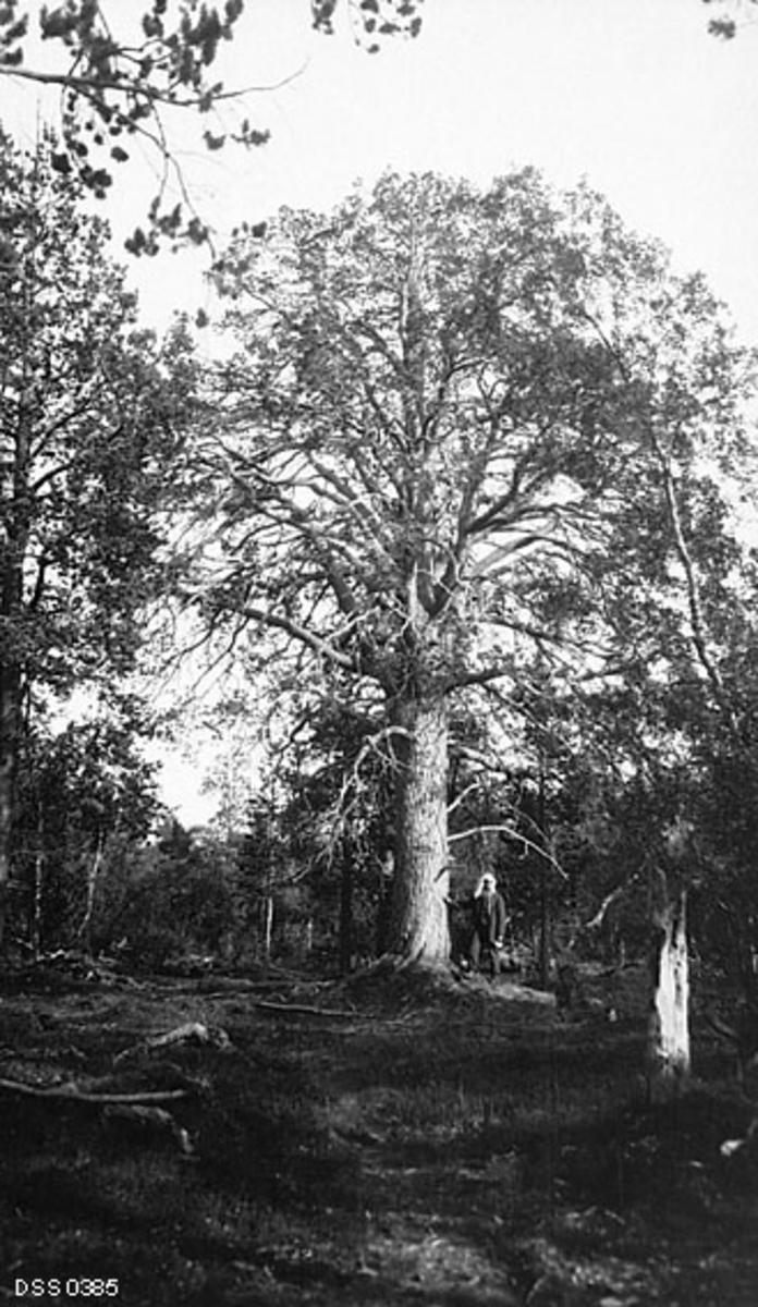 Stort, gammelt furutre i Sørfjorddalen i Kvænangen i Troms, fotografert sommeren 1915.  Treet hadde en grov, rettvokst og sylindrisk stamme med skorpebark, og ei vid, ganske symmetrisk krone med forholdsvis beskjeden barsetting.  Ved trestammen sto en mann med et tørkle på hodet, som han antakelig brukte som myggnett.  Dette kan ha vært Peder Gjetmundsen (1855-1929), som da fotografiet ble tatt var skogfogd i Kvænangen.  Av kartotekkortet fra den statlige skogetaten framgår det at furua var fredet, antakelig etter en administrativ beslutning i etaten.  Omkring 1930 var cirka 75 trær på statens grunn ulike steder i Norge fredet på denne måten.  Mange av dem var, som denne, vernet på grunn av sin størrelse og alder.