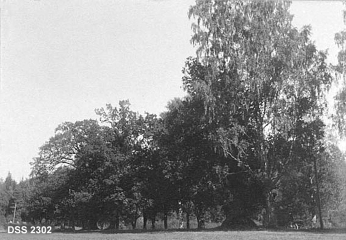 Den fredete eikealléen på Eidanger prestegard.  Fotografiet er tatt på avstand, slik at en ser ei rekke med trær, hovedsakelig eik, men også minst ei bjørk.  Mål [antakelig for den eika som står nærmest bjørka til høyre i bildet] finnes i rubrikk for signatur/påskrift