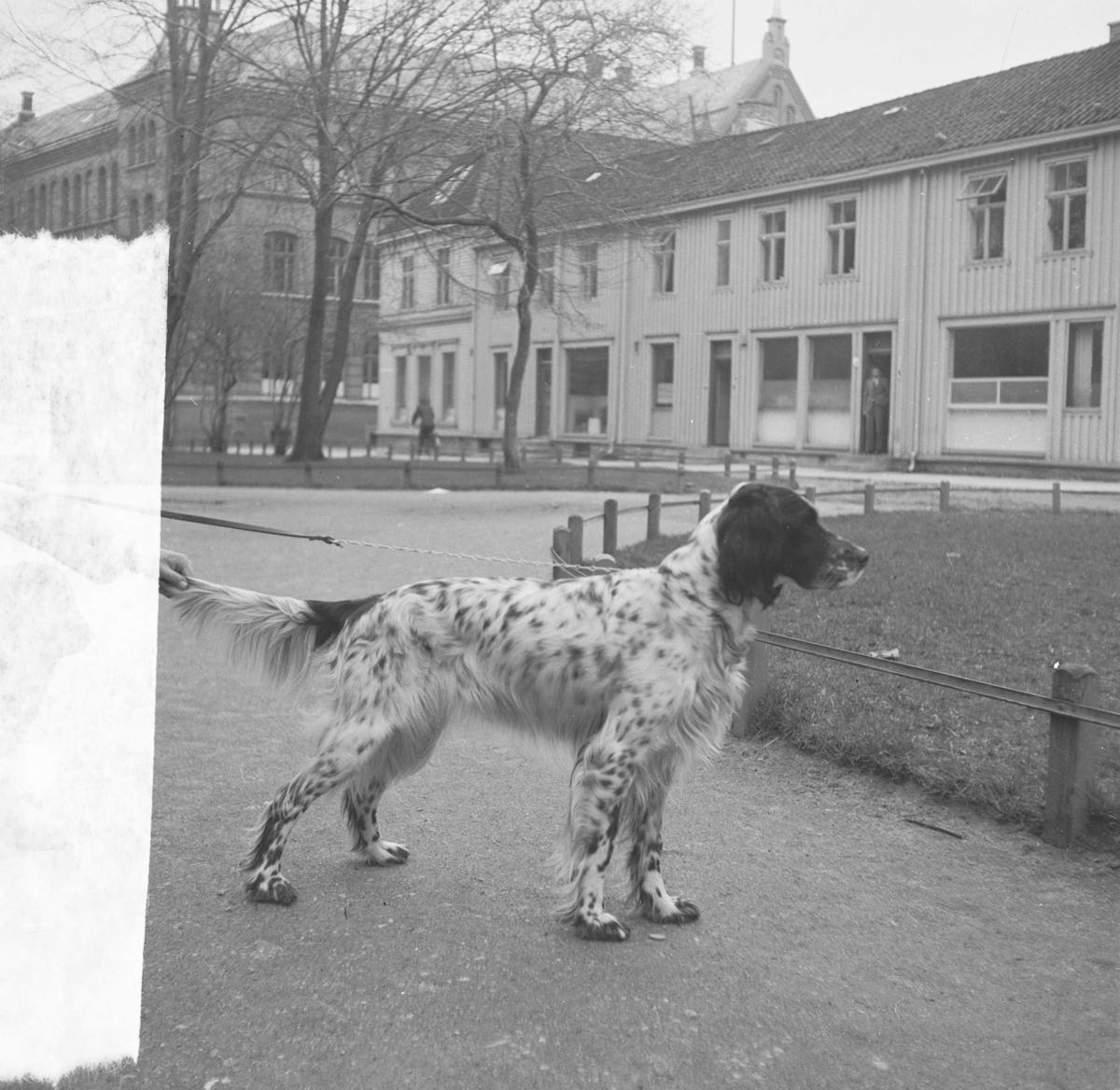 Einar Møllers hund. Engelsksetter