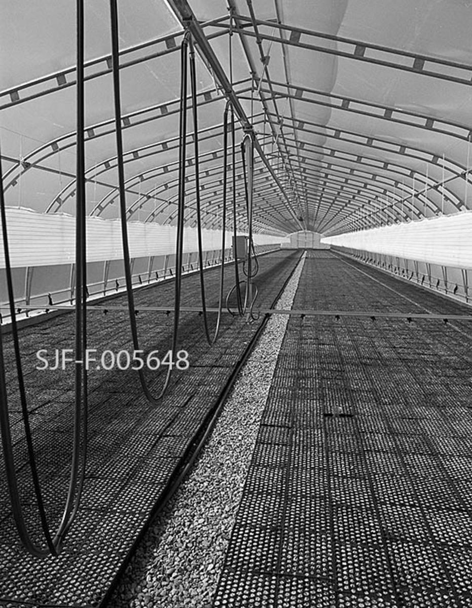 Interiør fra et av plastveksthusene ved Sønsterud planteskole i Åsnes i Hedmark.  Dette er et svenskprodusert Welteck-hus som hadde «luftbåren» vanning, noe som betyr at vanningsbommen med tilhørende slanger var festet i ei skinne i taket, under mønet, altså i veksthusrommets midtparti.  Fordelen med dette var at man unngikk skinneløsninger som la beslag på golvplass.  Dette fotografiet viser at hele det pukksteinsbelagte veksthusgolvet, med unntak av ei smal midtgangssone, er dekket av tettstilte pottebrett med spirende granplanter.  Dette gav altså god plassutnytting, men luftbåren vanning forutsatte at vanningsbommen ikke var for stor og tung.  Her er det snakk om et veksthus som var ti meter bredt og hundre meter langt.  I bredere veksthus var bakkemontert vanning en nødvendighet.  Vanningsbommen var elektronisk styrt.  Den kunne stilles på et visst antall vendinger.  Når den nådde den ene enden av veksthuset, sørget en vendebryter for at den returnerte.  At plantene i pottebrettene fikk passelig vannmetning ble kontrollert ved veiing.