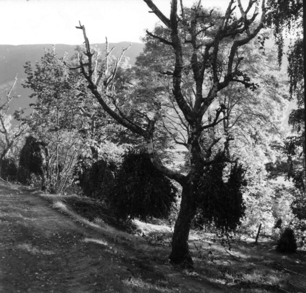 Lauving av bjørk. Ornes, Hafslo, Sogn og Fjordane 1961.
