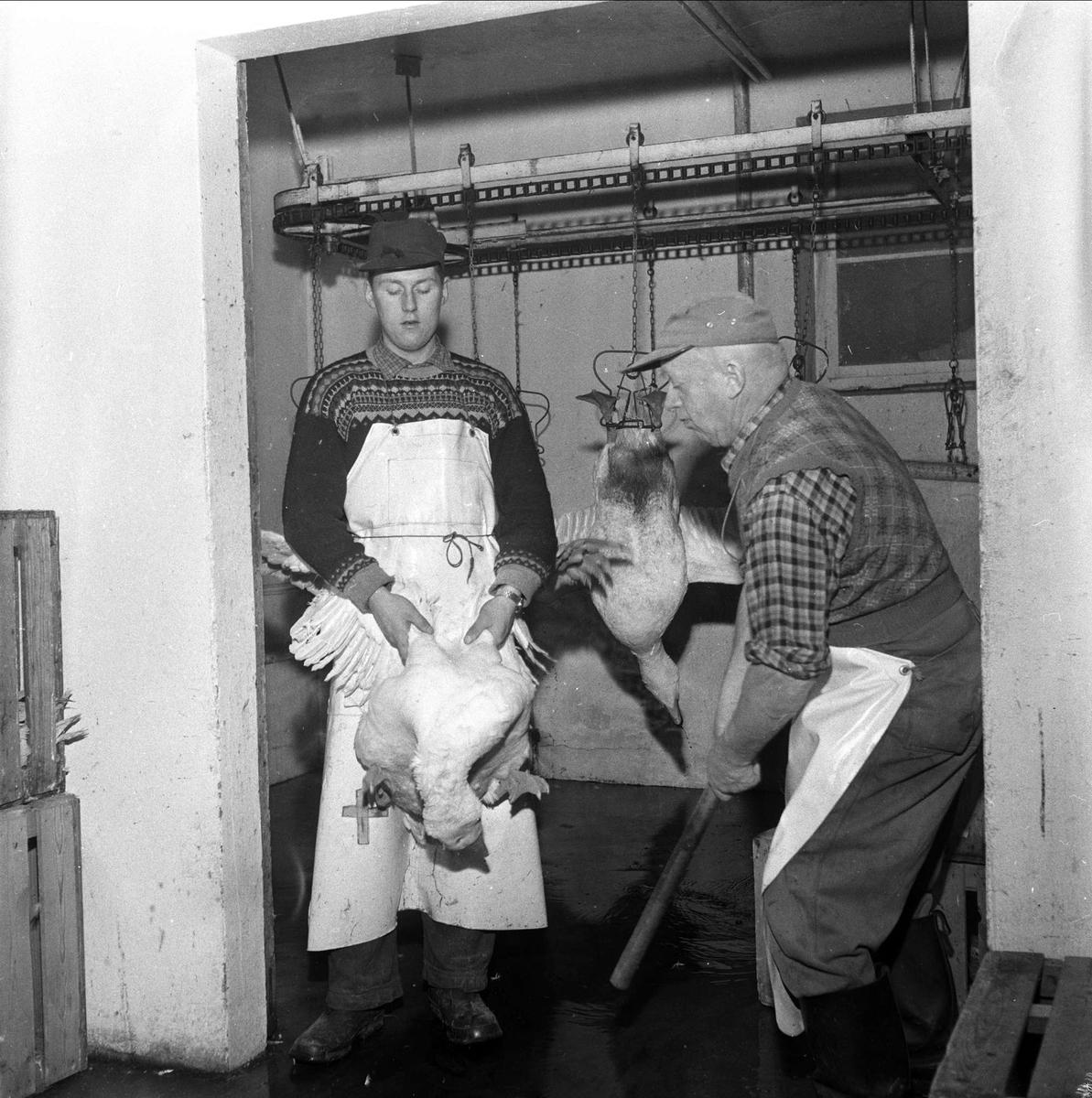 Mortensgås i Rakkestad, klubbing av gjess, Rakkestad, 10.11.1958