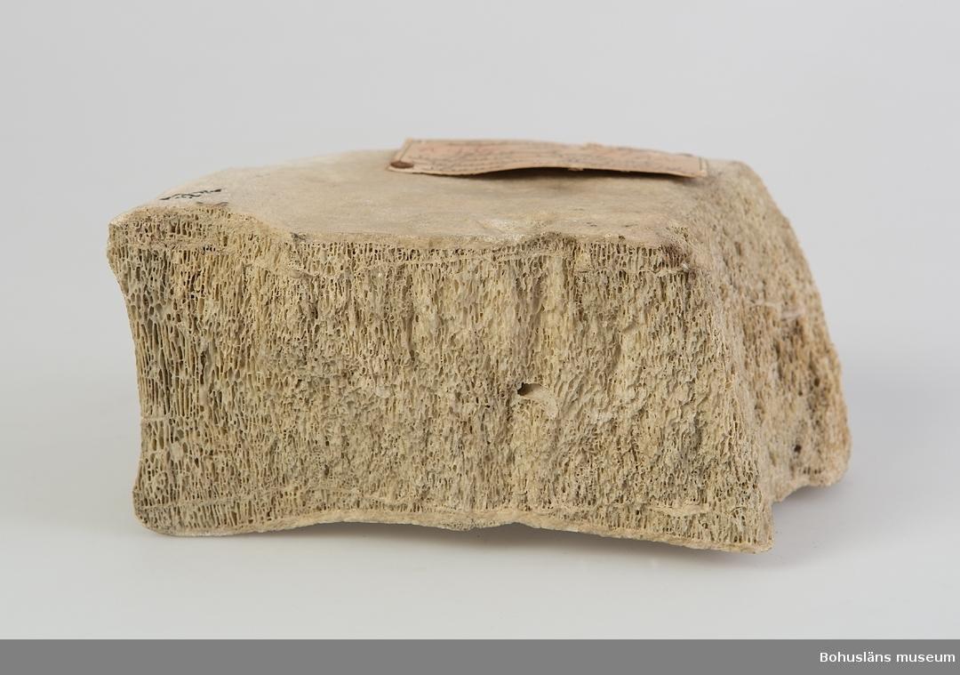 Ur handskrivna katalogen 1957-1958: Kropp av ryggkota av bardval.