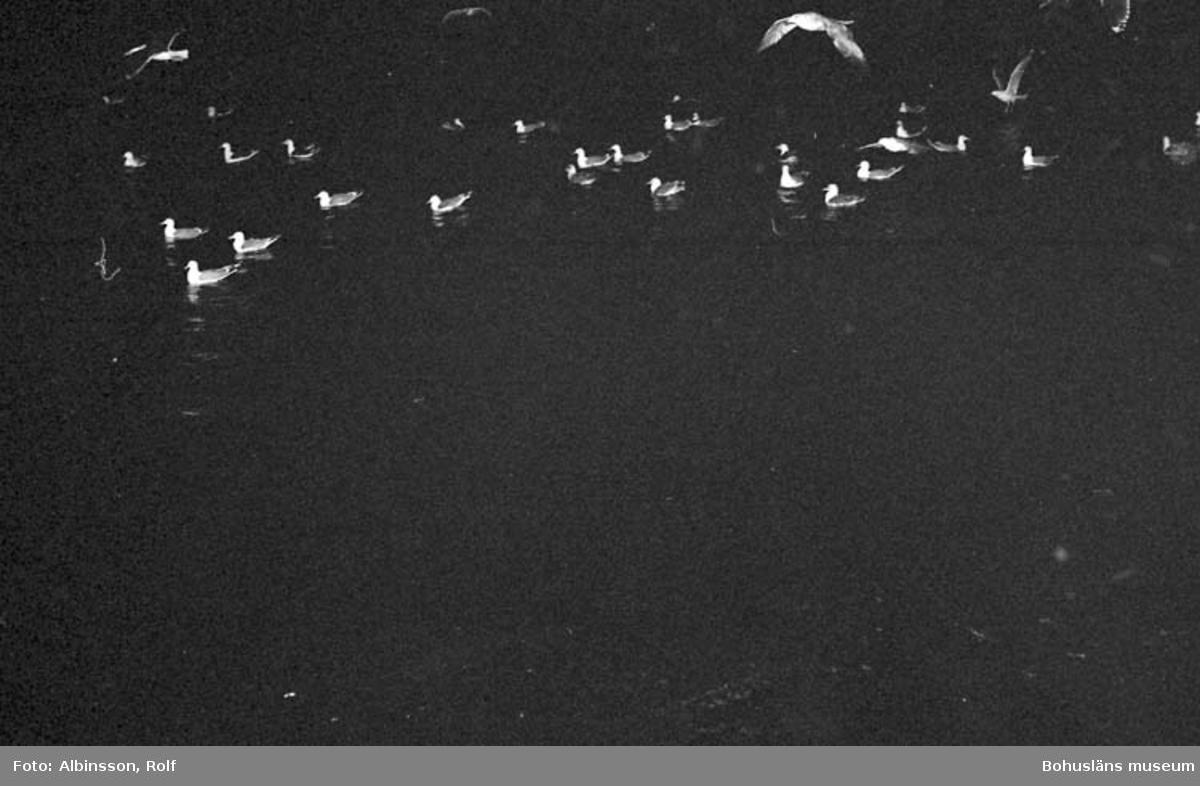 """Enligt fotografens noteringar: """"Måsar på havet som väntar på att något i matväg skall hamna hos dom.""""  Fototid: 1996-03-06."""