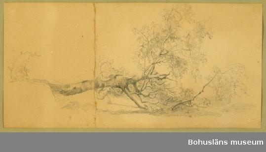 """Ur handskrivna katalogen 1957-1958: Bergh: """"Kullfallet träd"""" H.: 51,5 cm. Br.: 66,5 cm (ramen inberäkn.) Teckningens mått: 43,5 x 21,3 cm. Teckn. gjord m. blyerts. Från 1860- talet?"""