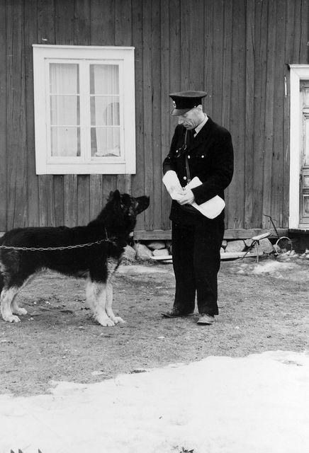 Lantbrevbärare Erik Bergman i Delsbo. Bergman med sin kraftiga trogna draghund som på vintrarna hjälper honom att dra sitt stora lass med post.  Foto april 1955.