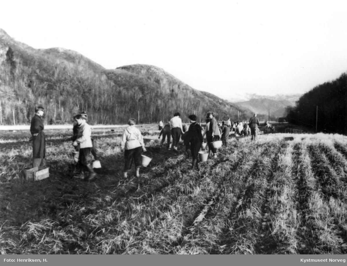 Leka, potetopptaking i Gutvik