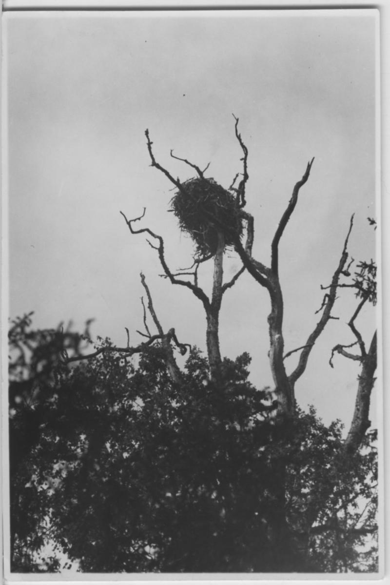 'Biologiska föreningens utfärd till Läckö och Stora Ekens skärgård: ::  :: Fiskgjuse, bo i träd, Stora Ekens skärgård. På avstånd. ::  :: Se fotonr. 3242-3254, 3255, 3256-3259, 3260-3285 samt 3889-3894.'